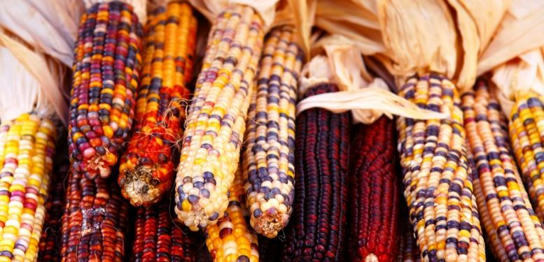 Pile of indian corn on farmers market in the fall